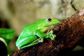Colorful green frog Polypidates dennysii — Stock Photo
