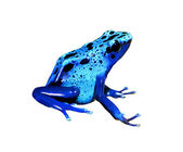 Colorful blue frog Dendrobates tinctorius isolated — Stock fotografie