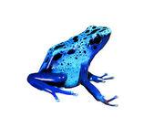 Colorful blue frog Dendrobates tinctorius isolated — Stock Photo
