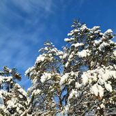 зимние деревья покрытые снегом — Стоковое фото