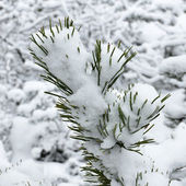 Winter forest covered with snow close-up — Stock Photo