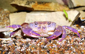 River crab Potamon sp. in aquariu. Purple morph — Stock Photo