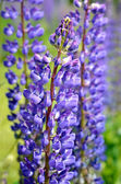 Close-up di fiori di lupino — Foto Stock