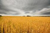 Wheat field scene — Stock Photo