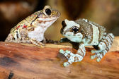 Two colorful frogs in terrarium — Stock Photo