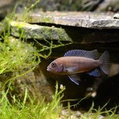 Cichlid fish in aquarium — Stock Photo