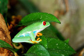 Red-eye frog in natural environment — Stock Photo