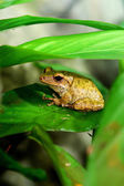 Brown frog stitting on the leaf — Stock Photo