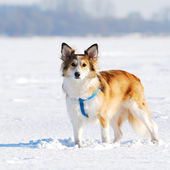 Cute young dog on snow — Stock Photo