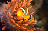 海洋水族館のクマノミ — ストック写真
