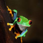 Red-eye tree frog Agalychnis callidryas — Stock Photo