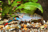 Blue crayfish — Stock Photo