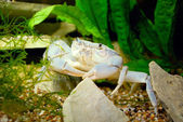 River crab Potamon sp. in natural environment — Stock Photo