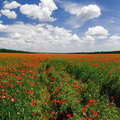 Panorama of a poppy field in bright sunny day — Stock Photo