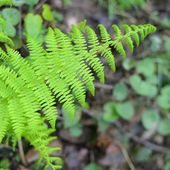 New sping fern close-up in the forest — Stock Photo