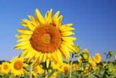 Sunflowers in the field in summer — Stock Photo