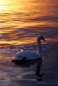 Cigno nuoto nel lago nella luce del tramonto — Foto Stock