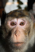 Monkey face — Stock Photo