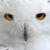 White polar owl close-up — Stock Photo