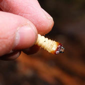Bug larva — Stock Photo