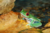 Smilling red-eye frog in nature — Stock Photo