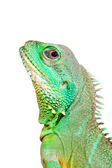 Colorful green lizard close-up. Isolated — Stock Photo