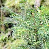 Pine tree close-up — Stock Photo