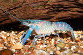 Colorful Australian blue crayfish - cherax quadricarinatus in aquarium — Stock Photo
