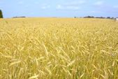 Agriculture view. Wheat field scene — Stock Photo