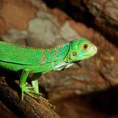 Green tropical lizard in terrarium — Stock Photo