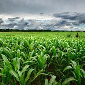 Corn field close-up against stormy sky — Stock Photo