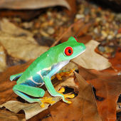 Red-eye frog in nature — Stock Photo