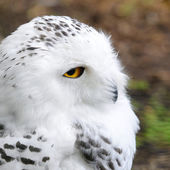 White polar owl sitting on a stick in the zoo — Stock Photo