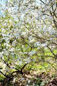 Albero fiorito in primavera — Foto Stock