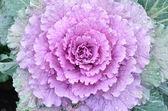 Ornamental decorative cabbage close-up — Stock Photo