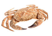 Edible shore crab covered with sea molluscs isolated on white — Foto Stock