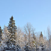 Winter forest landscape against blue sky — Stock Photo