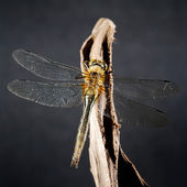 Dragonfly sitting on the stick on black — Stock Photo