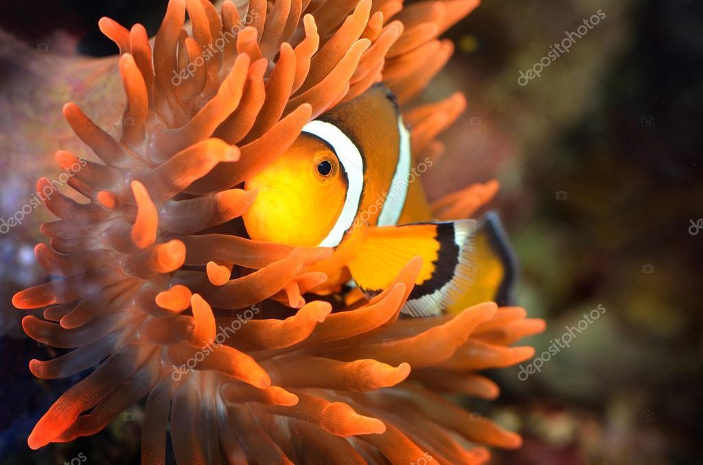 Poisson clown en aquarium marin photo 32833609 for Poisson clown prix