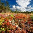 Northren forest with colorful foreground — Stock Photo