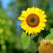 Sunflower close-up against foliage background — Stock Photo