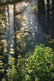 Strong beautiful fog and sunbeams in the forest — Stock Photo