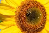 Sunflower close-up with bee sitting on it — ストック写真