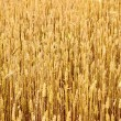 Agriculture view. Wheat field close-up — Stock Photo #38697317