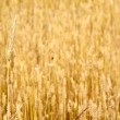 Agriculture view. Wheat field close-up — Stock Photo #38697669
