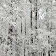 Stock Photo: Winter wonderland in snow covered forest. Latvia