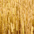 Agriculture view. Wheat field close-up — Stock Photo #38697859