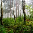 Stock Photo: A north forest in fog. Latvia