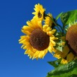 Sunflower close-up against dark blue sky — Stock Photo #38698143