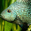 Tropical fish in aquarium — Stock Photo
